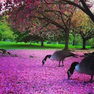 Geese eating flowers