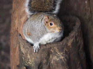 Fat squirrel