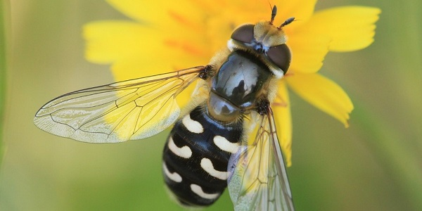 The Pied Hoverfly, an inaccurate mimetic species (Source: https://www.naturespot.org.uk/species/pied-hoverfly)