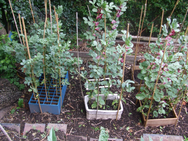 Broad Beans In Recycled Containers