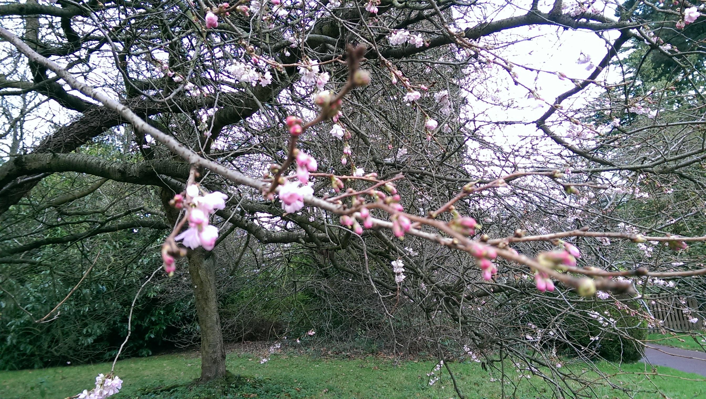 Blossom on campus, December 2015